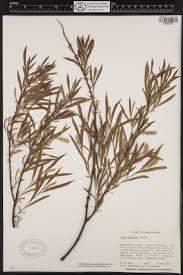 pennsylvania native plants list jpeg php image u003did080372 u0026view u003d0 5 0 5 2