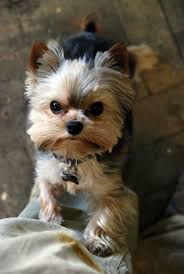 201 best yorks images on pinterest animals yorkies and