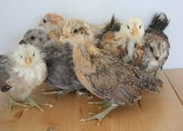 buy easter egger chickens marin chickens the are 3 weeks easter eggers silkies