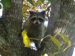 Raccoons In Backyard If I See A Raccoon Out During The Day Does It Have Rabies Active