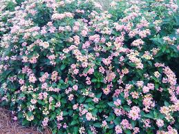 garden design garden design with bandana lantanas are louisiana