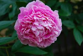 peonies flowers peony growing tips how to care for peonies