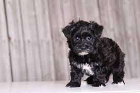 affenpinscher for sale ohio puppies for puppies for sale