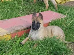 belgian sheepdog sale belgian shepherd dogs and puppies rehome buy and sell in the uk