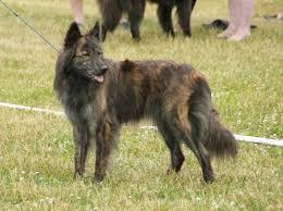 belgian shepherd special forces meet the breed the dutch shepherd baxterboo