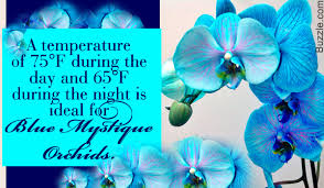 blue orchids tips to take care of the majestic blue mystique orchids