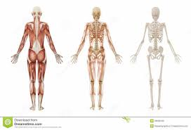 Human Female Anatomy Female Skeleton Diagram Anatomy Organ