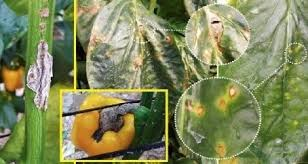 Green Chilli Plant Diseases - chili pepper diseases and their visual identification