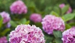 Hydrangea Flowers Hydrangeas Garden Guides