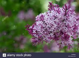 best collections of bloomerang purple lilac all can download all