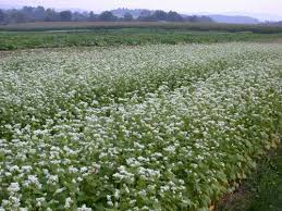 buckwheat a good summer cover crop for home gardens oregon state