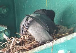 baby pigeons backyard and beyond