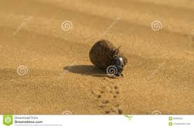 thar desert animals a dung beetle in the thar desert stock photo image 80549224