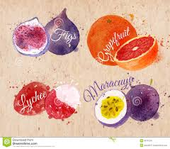 lychee fruit drawing fruit watercolor figs grapefruit lychee stock vector image