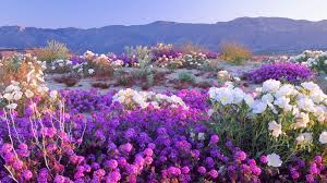 desert flower desert flowers wallpaper