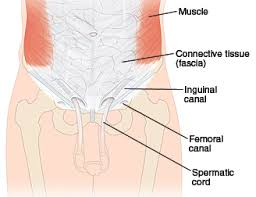 Picture Of Abdomen Anatomy Anatomy Of The Abdomen And Groin