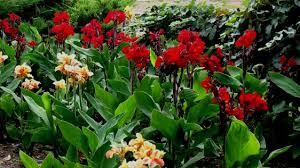 Dragon Lily Flower - canna u0027fire dragon u0027 planthaven international