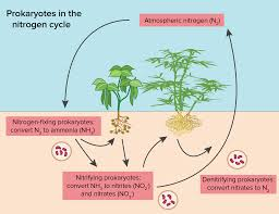 the nitrogen cycle article ecology khan academy