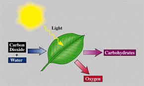 Lab Bench Photosynthesis Pearson The Biology Place