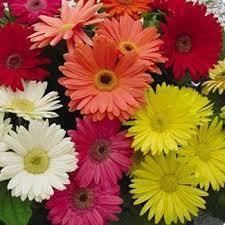 gerbera daisies gerbera seeds gerbera flower seed mix