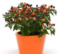 pepper ornamental pops purple 100 seeds garden