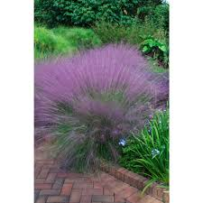 pink muhly grass 00670 the home depot