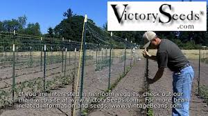 using horticultural netting aka crop netting to trellis pole beans you