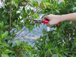 Prune Fruit Trees How To Prune Plants Shrubs U0026 Trees Saga