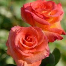 mardi gras roses roses louisiana nursery
