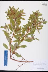 Fragrant Plants Florida - lyonia ferruginea species page isb atlas of florida plants