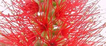 bottlebrush tree callistemon rigidus