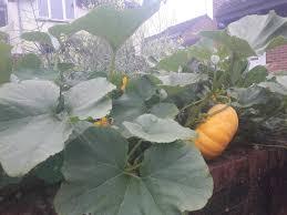 vandals smash pumpkin being grown by incredible edible swindon