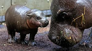 si鑒e social hippopotamus hippopotamus si鑒e social 28 images the oxpecker and the