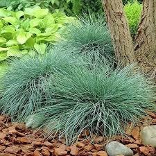 102 best blue fescue images on blue fescue gardening