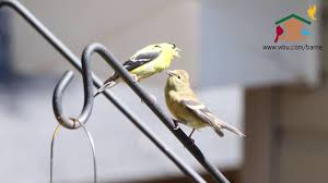 male american goldfinches feeding his fledgling youtube