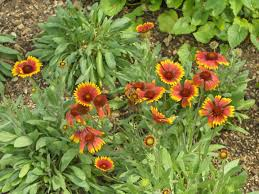 gaillardia or blanket flower comes in varying shades of yellow