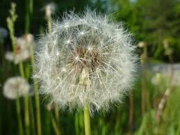 Dandelion Facts Pollination Cool Kid Facts