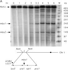 Dna Mapping A Natural Meiotic Dna Break Site In Schizosaccharomyces Pombe Is A