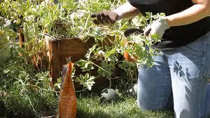 how to grow watermelon in the backyard garden space youtube