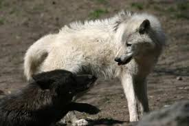 black wolves the genetically modified predators