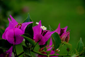 Climbing Plants That Flower All Year - bougainvillea wikipedia