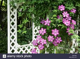 climatis flowers and white trellis in neepawa manitoba canada