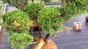 Pom Pom Trees Pom Pom Juniper Youtube