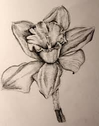 drawings of daffodils group 50