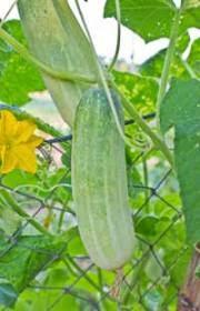 Cucumber Spacing On Trellis Growing Cucumbers Vegetablegardeninglife Com