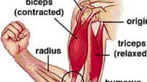 Bicep Innervation Anatomy And Physiology Bicep Curl Muscle Video Youtube