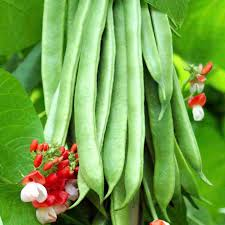 Types Of Garden Beans - bean runner seeds tenderstar all vegetable seeds vegetable