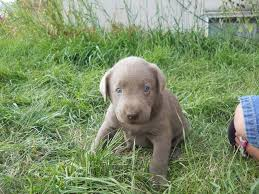 australian shepherd ksl akc dogs akc registered weimaraner puppies for sale in spring
