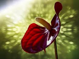 Calla Lily Flower Free Photo Floral Red Anthurium Antrenaum Flower Calla Lily Max