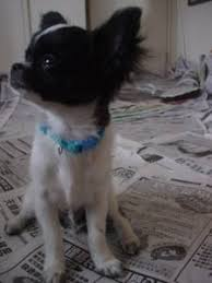 chug dogs for adoption in usa